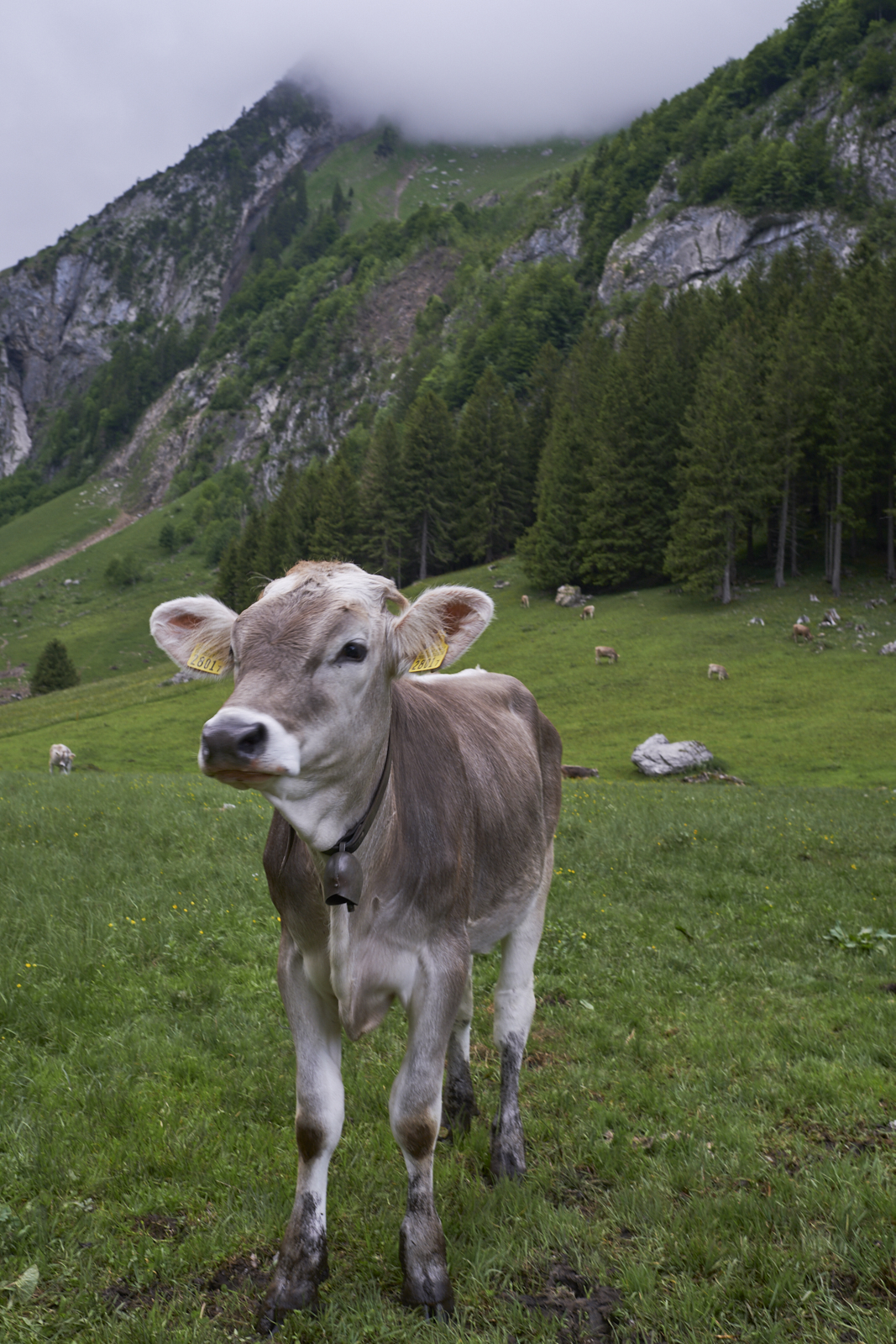 Seealpsee cow Kuh Santis