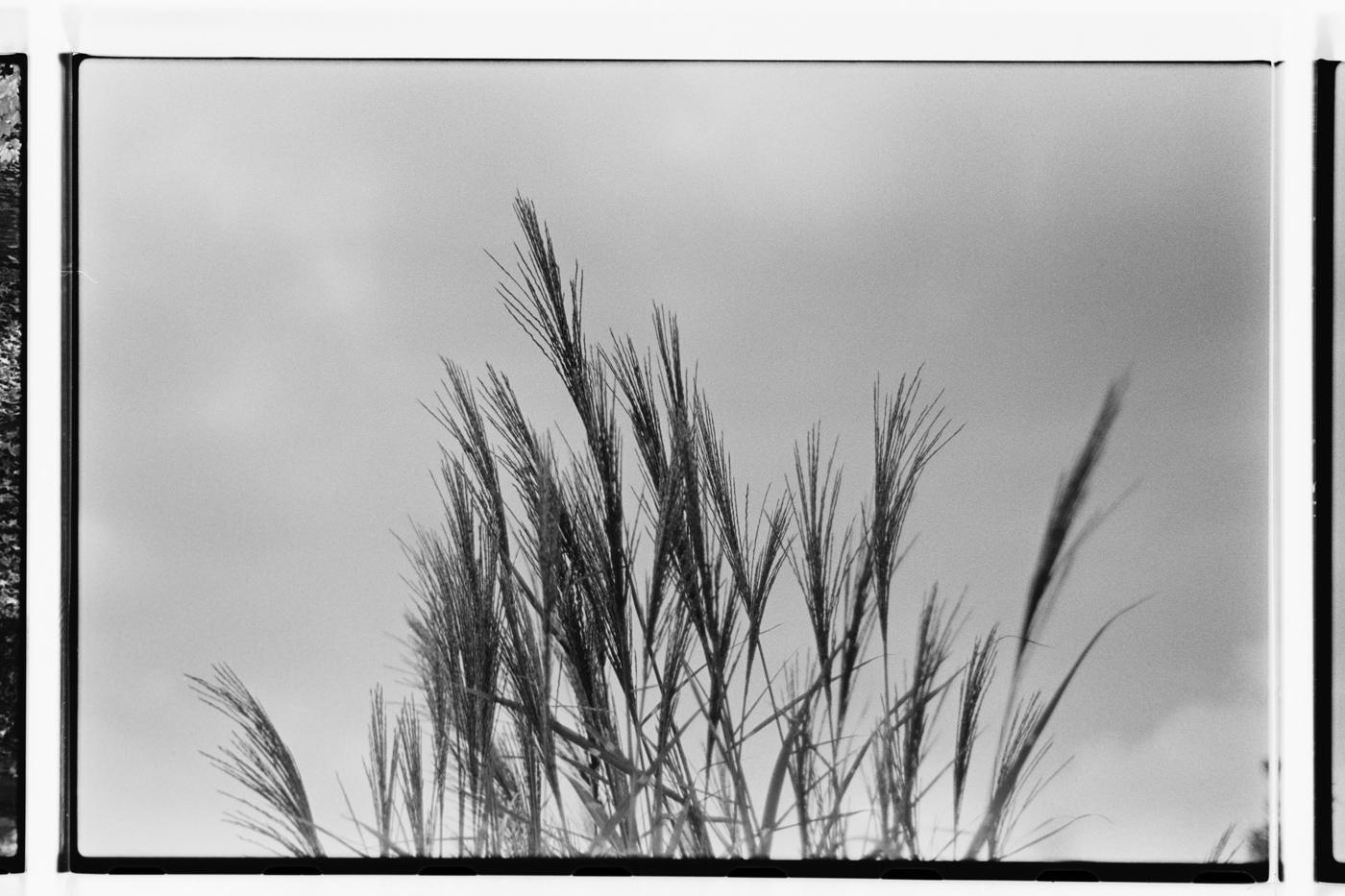 grasses against overcast sky