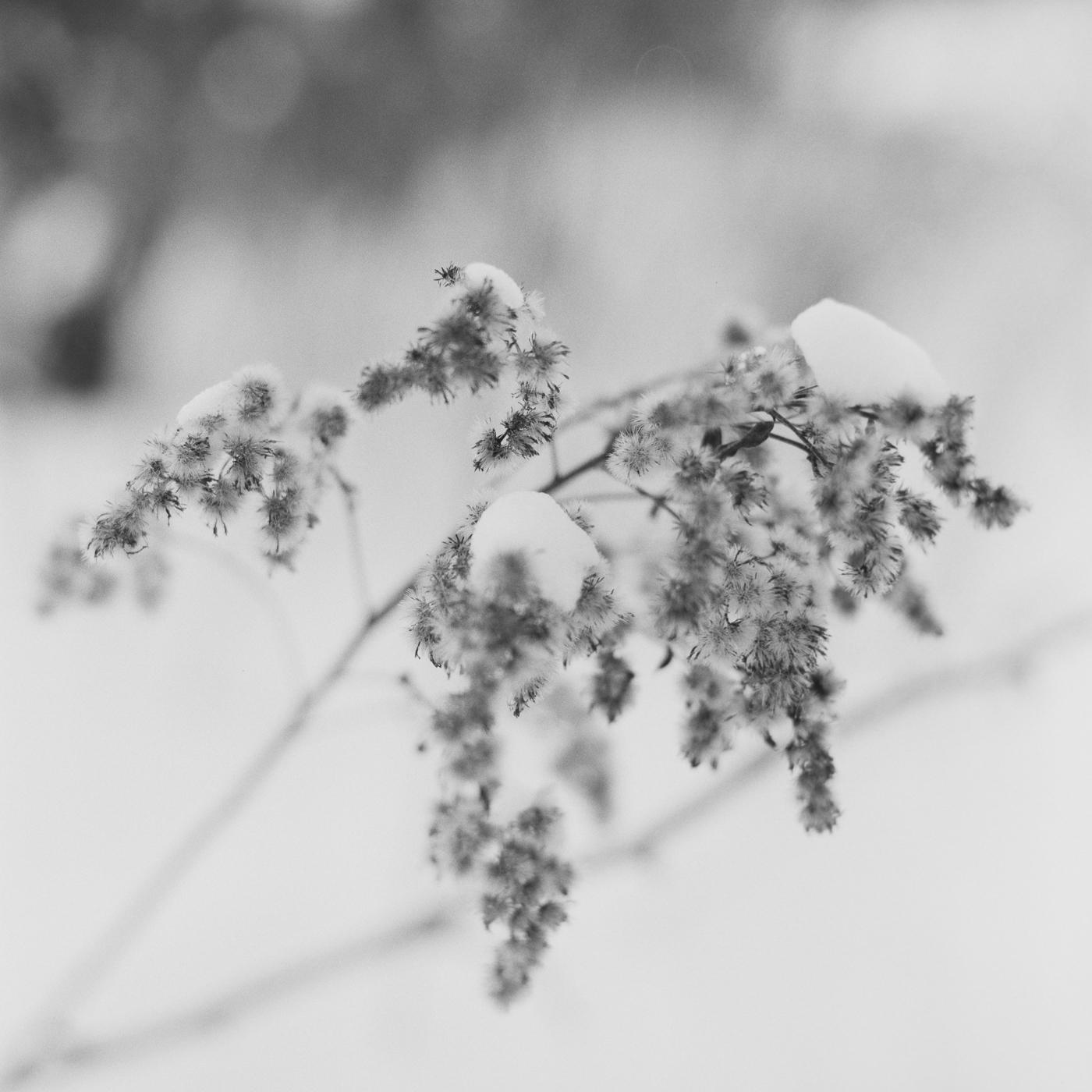 snow winter flower