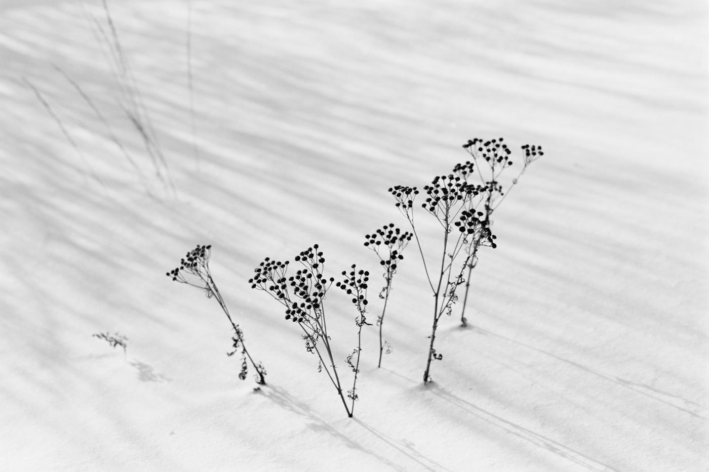 snow winter flowers
