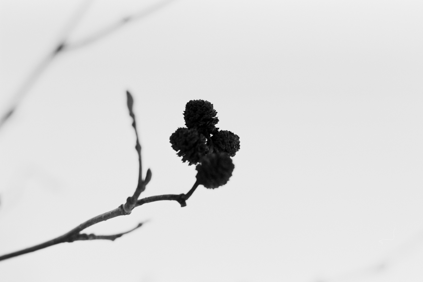 winter flower black and white